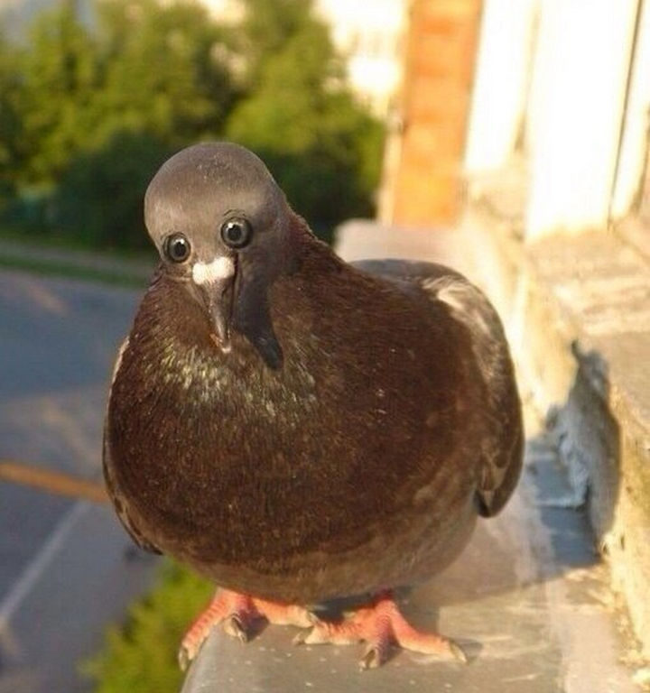 Pigeons would look very weird with their eyes this way. It's freaking me out!