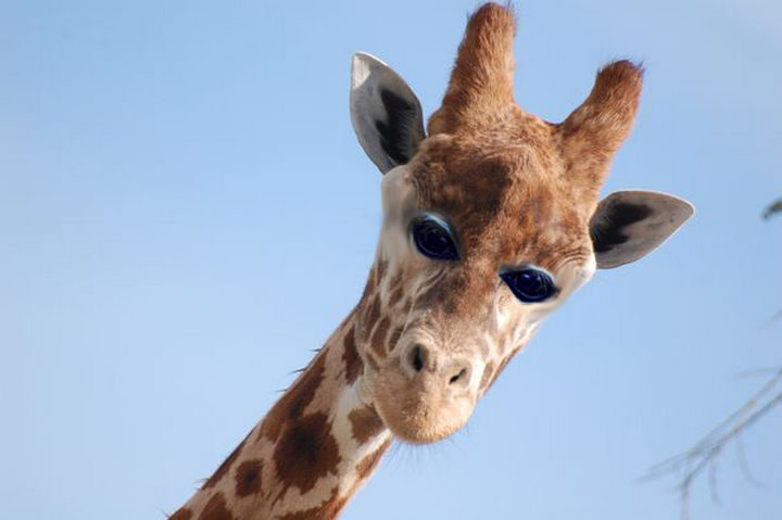 This giraffe takes on an alien-like appearance with its eyes this way.