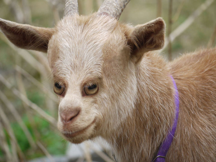 I'm glad sheep and goats don't look this way in real life. I'd get nightmares.