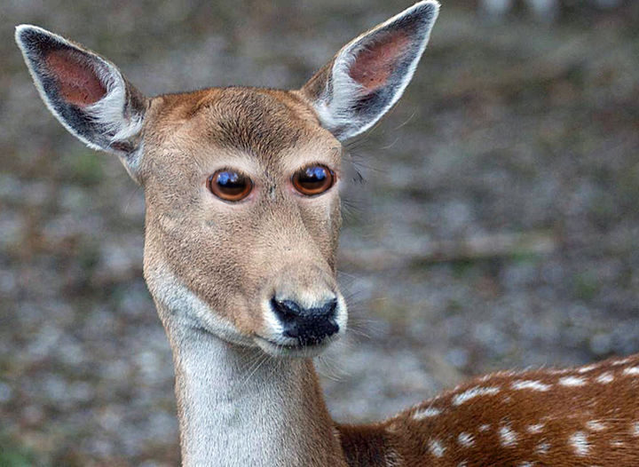 This deer seems to lose its cuteness without its eyes on the side.