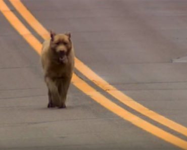 Dog Walks 4 Miles to Town Every Single Day to Meet People.