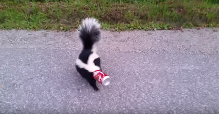 Orillia Man Helps Remove Soda Can Stuck onto Skunk's Head.