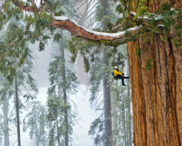 Scientists Climb a 3,200 Year Old Tree That Is 247 Feet Tall. The Picture They Took Is Unbelievable!