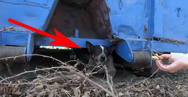 Cowboy the Blue Heeler Dog Gets Rescued After Found Living Under a Dumpster.