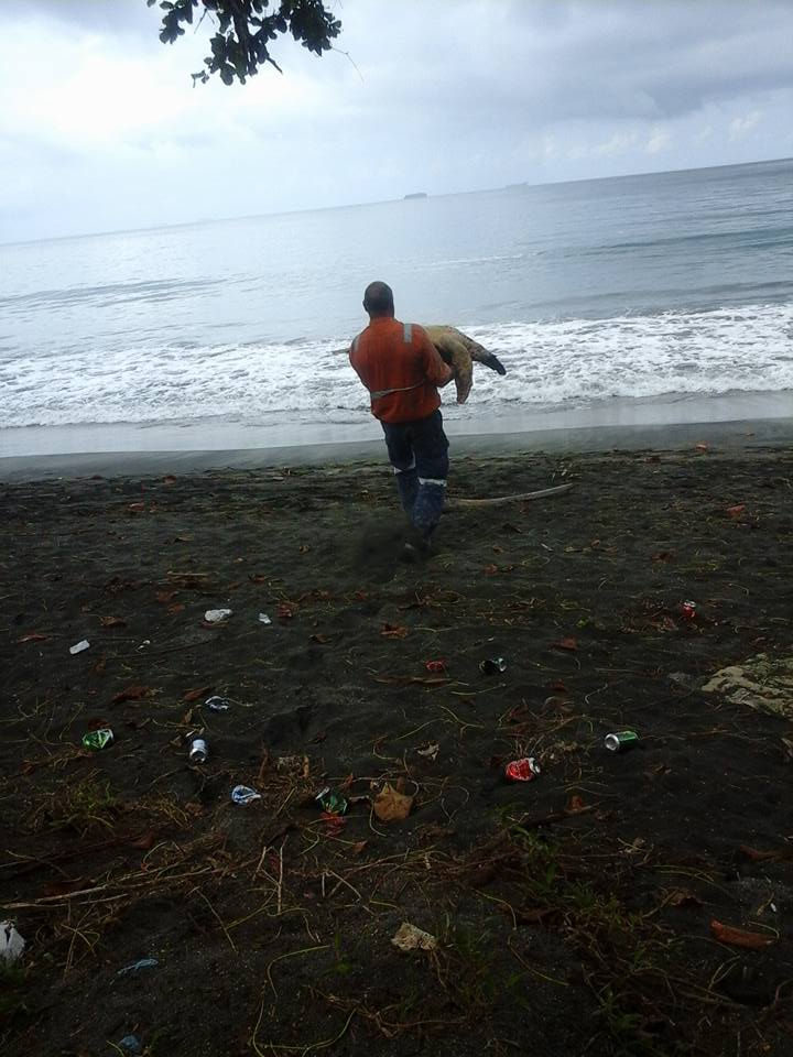 Culling carries the turtle so that he can release them back to the ocean.