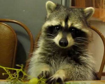 Raccoon Eating Grapes With His Tiny Hands Is the Cutest Thing.
