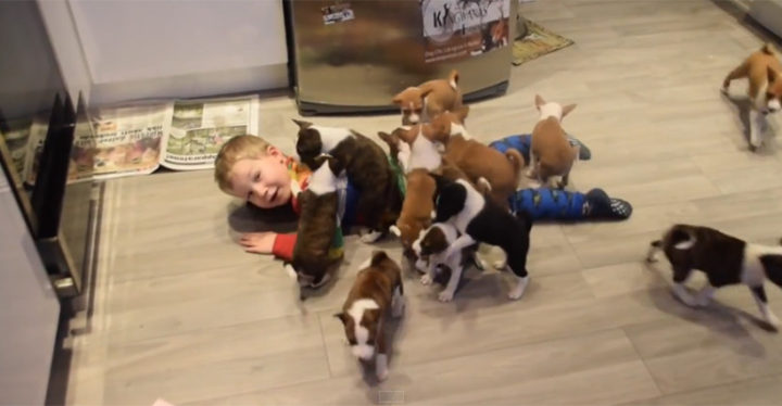 16 Basenji Puppies Playing Together and Having the Time of Their Lives!