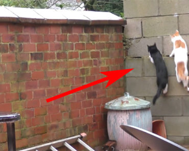 2 Cats Hilariously Land on Each Other as They Leap Onto a Ledge.