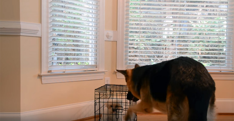 Clever German Shepherd Lets Maltese Puppy Out of Her Kennel.