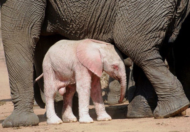 Rare Baby Albino Elephant Spotted by Tourists in Kruger National Park.
