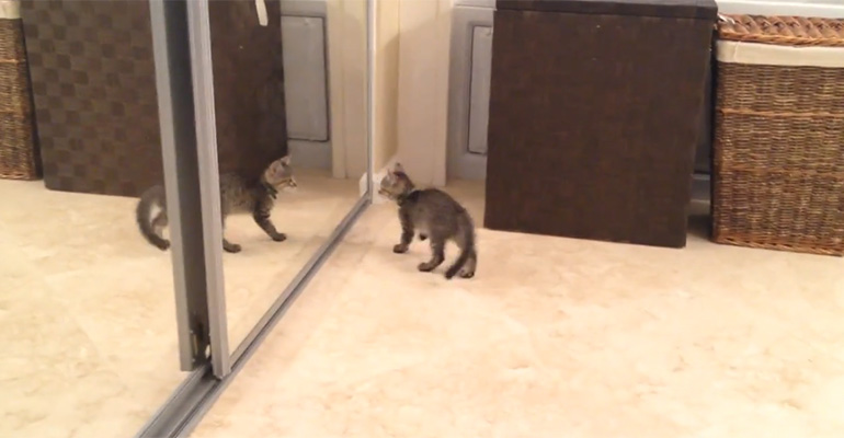 Kitten Sees Reflection in Mirror and Wants to Battle With Himself.