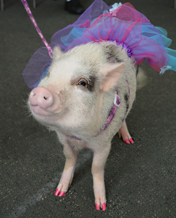 Meet LiLou, the adorable therapy pig that helps bring happiness to everyone she meets.
