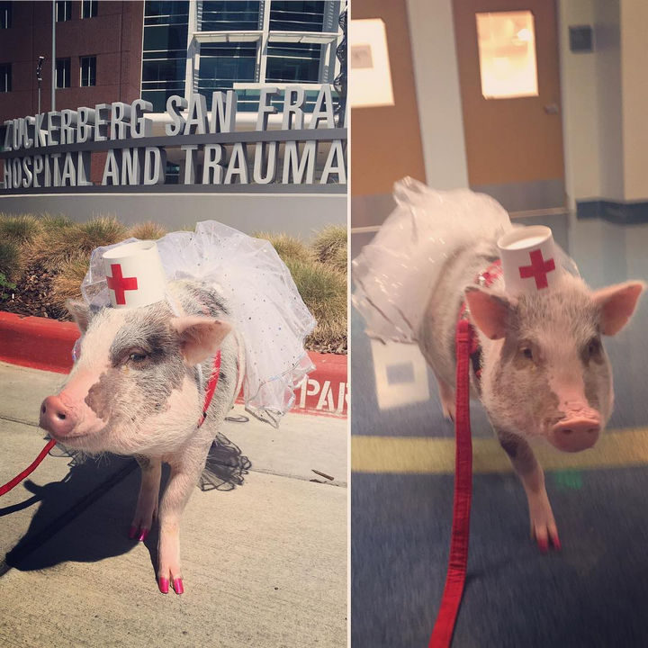 LiLou the therapy pig loves to visit seniors at hospitals and nursing homes.