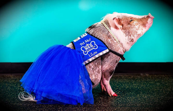 LiLou is a Juliana-breed pig and is part of San Francisco SPCA's Animal Assisted Therapy (AAT) program.