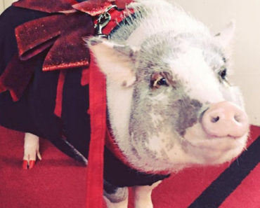 Meet LiLou, the Cute Therapy Pig That Calms Down Stressed Passengers