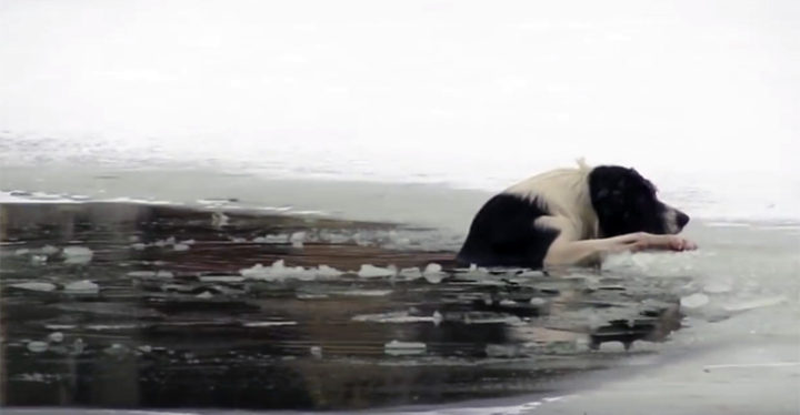 Shirtless Man Saves Dog That Fell Through the Ice in a Pond.