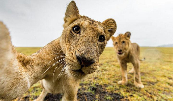 22 Funny Animal Selfies - Lions love taking selfies too!