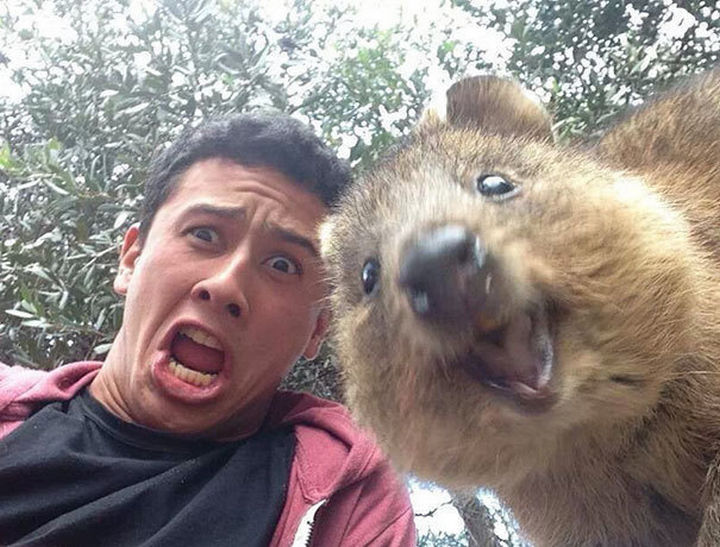 22 Funny Animal Selfies - When it comes to animal selfies, the quokka is a natural.