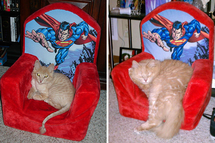 29 Before and After Photos of Family Cats - Still loves his Superman chair.