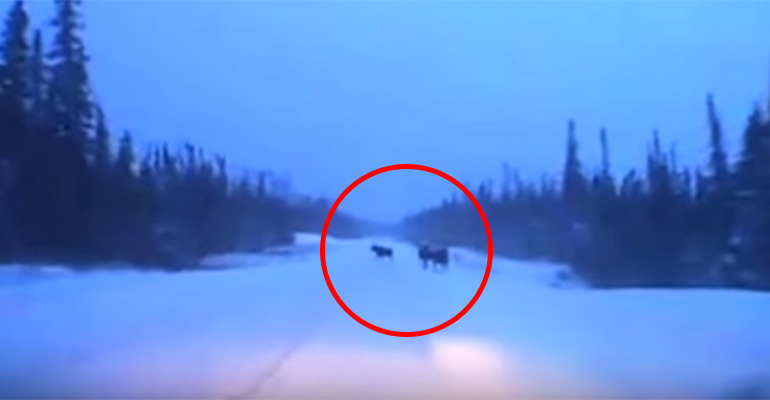 Driver in Hornepayne, Ontario Narrowly Avoids 4 Moose.