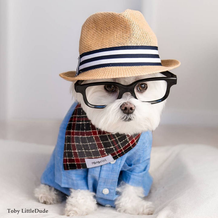 Meet Toby LittleDude, the hipster dog on Instagram that will steal your heart!