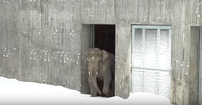 Oregon Zoo Animals Have a Blast Playing on a Snow Day