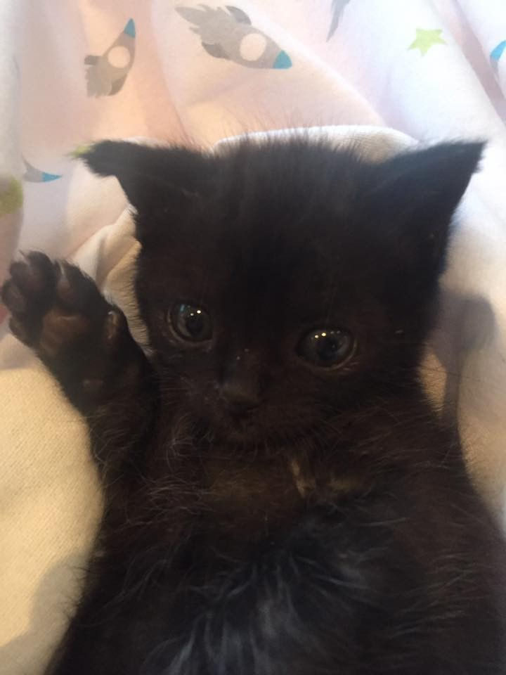 Paulette, a foster owner for The Kitten Cottage cared for Billy around the clock. After only 3 days of antibiotics, he was looking healthier already.