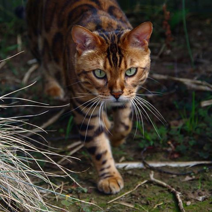 Meet Thor, a Bengal cat with model good looks.