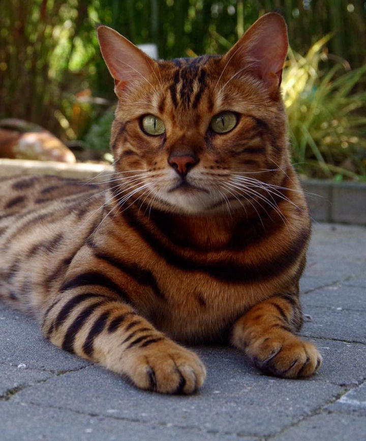Thor's owner, Rani Cucicov, fell in love with him when she spotted him at a cattery in the Netherlands in 2013.