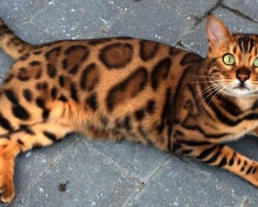 Thor, a Gorgeous Bengal Cat With Purrfect Markings Colored by Nature.