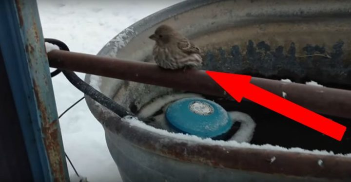 Older Man Rescues Tiny Finch Bird Frozen to a Metal Fence Pipe.
