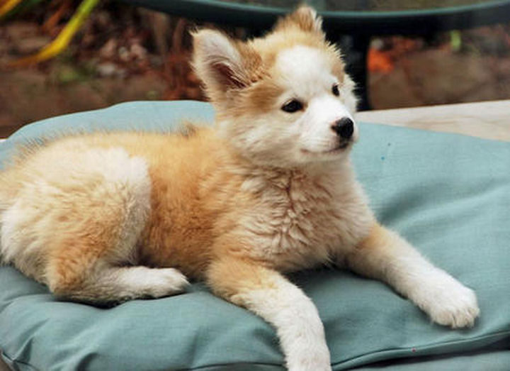 She has a calm temperament which Golden Retrievers are renowned for and thick, fluffy fur like gorgeous huskies.