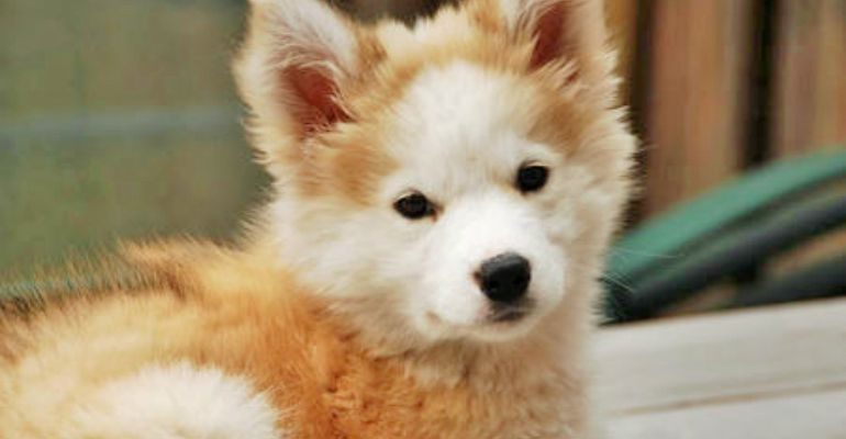 Phoebe Is A Rare Husky Golden Retriever Mix And Shes 100 Adorable