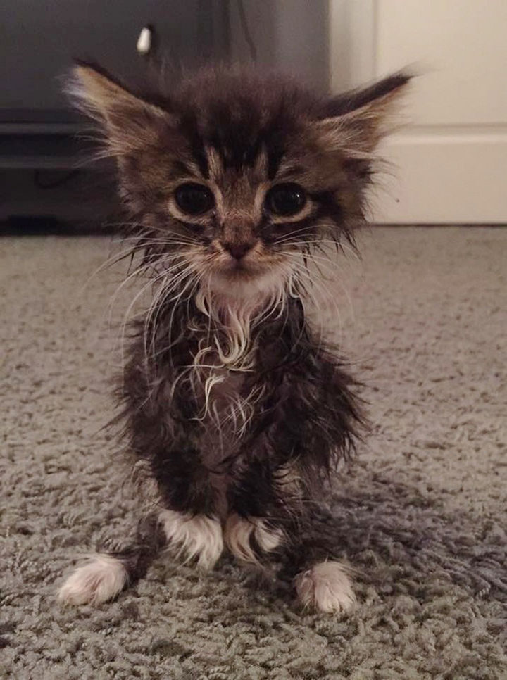 When this tiny kitten named Little Roo Russ was born, her owners noticed she was not growing in her fur and had trouble walking.