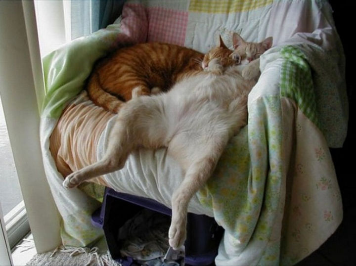 23 Amusingly Lazy Cats - Sleeping like a boss.