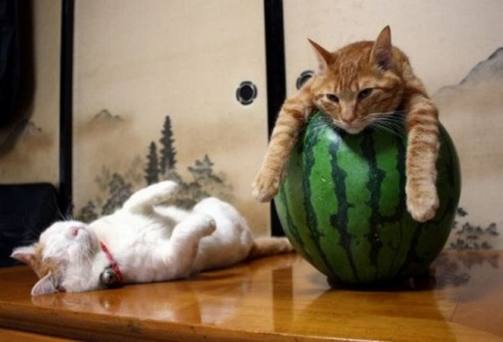 23 Amusingly Lazy Cats - He probably wishes there would be a second watermelon.