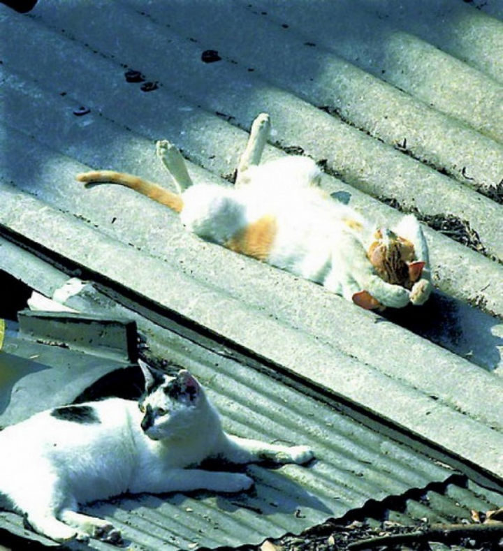23 Amusingly Lazy Cats - Working on his tan.