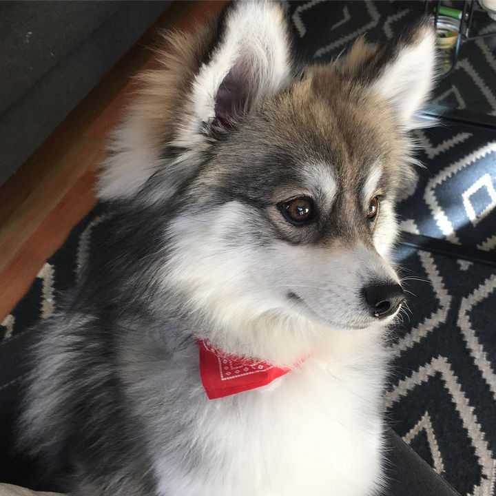 husky and pomeranian mix dogs norman the pomeranian husky mix one puppy that will melt 2599