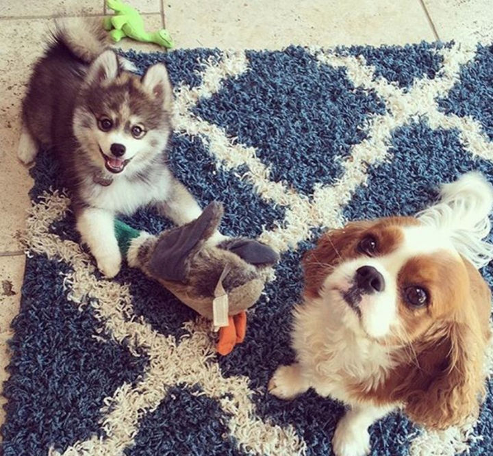 Norman the Pomsky has no shortage of friends either!