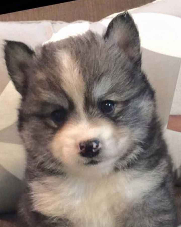 O-M-G! I can't even...so cute! Norman the Pomsky at only 5 weeks old.