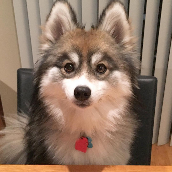Norman the Pomsky thanks you for looking at all his pictures and invites you to follow him on Instagram too!