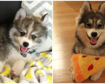Norman the Husky-Pomeranian Mix Is One Tiny Pomsky That Will Melt Your Heart.