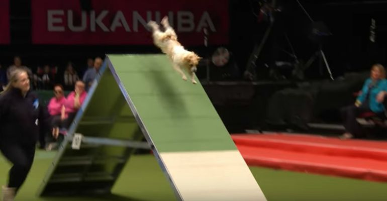 Little Olly the Jack Russell Goes Crazy with Excitement at Crufts 2017!