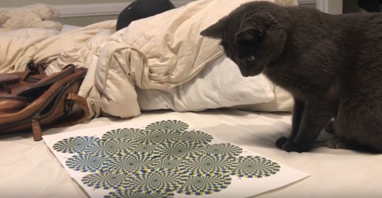 "Cat Mesmerized By ""Rotating Snakes"" Optical Illusion."