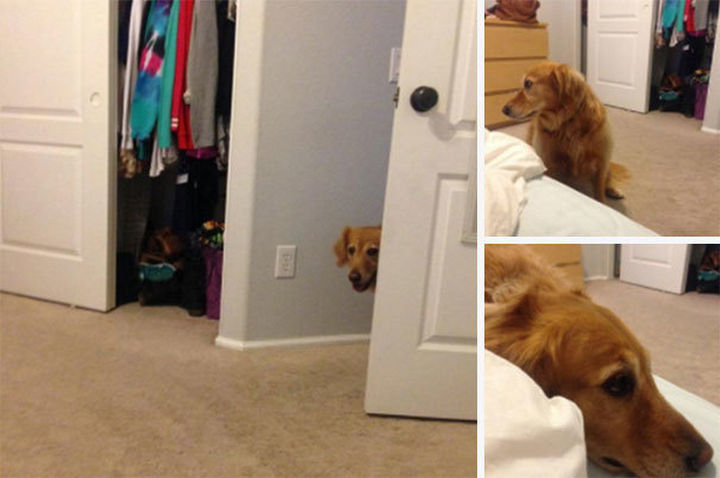 """27 clever dogs bending the rules - She's not allowed in the bedroom but she's thinking """"if I don't look at my human, she won't see me right?"""" Wrong. :)"""