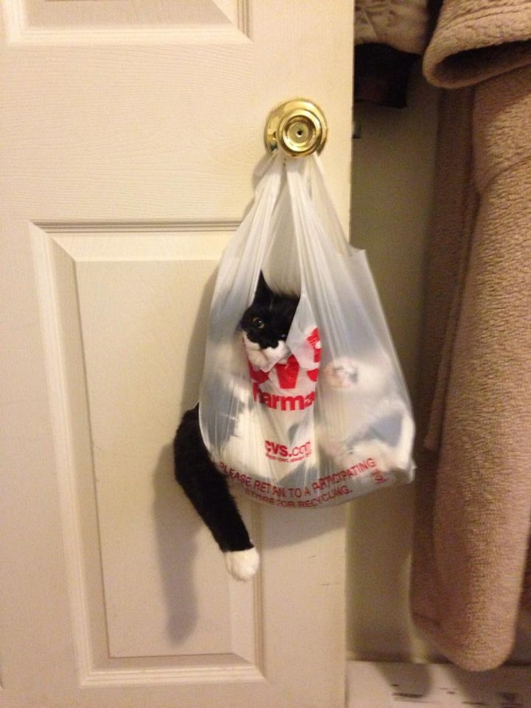 30 Cats Making Poor Life Choices - This curious cat that won't snoop through shopping bags again.