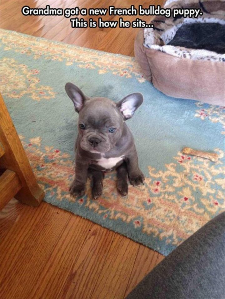 "37 Funny Animal Memes - ""Grandma got a new French bulldog puppy. This is how he sits..."""