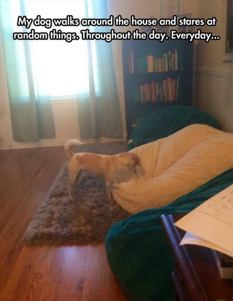 "37 Funny Animal Memes - ""My dog walks around the house and stares at random things. Throughout the day. Everyday..."""