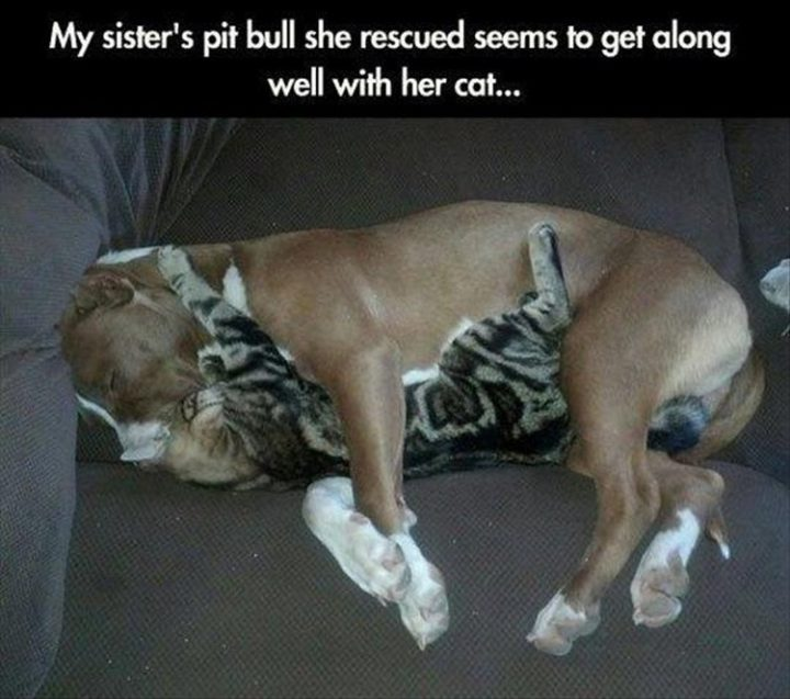 "37 Funny Animal Memes - ""My sister's pit bull she rescued seems to get along well with her cat."""