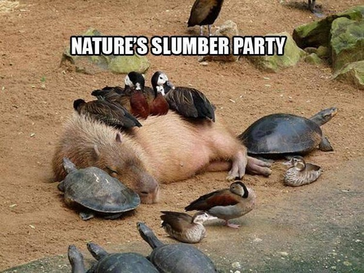 "37 Funny Animal Memes - ""Nature's slumber party."""